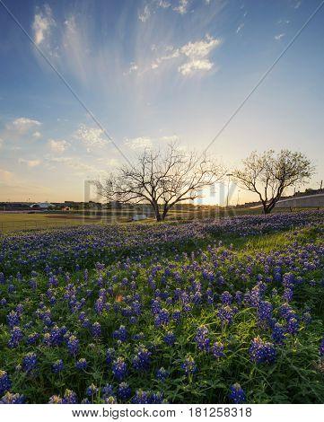 Bluebonnet flowers field in Irving city Texas