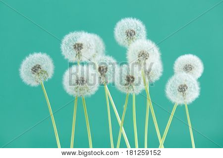 Dandelion flower on green color background, group objects on blank space backdrop, nature and spring season concept.