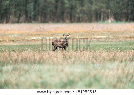 Alert Roe Deer Buck Standing In Field.