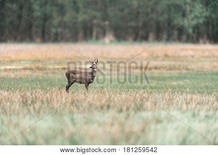 Roe deer buck standing in a field.