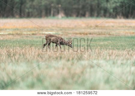 Roe Deer Buck With Head Down In Meadow Looking For Food.