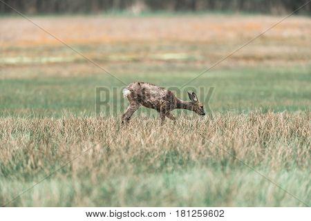 Roe Deer Doe During Moult Grazing In Field.