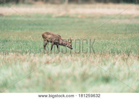 Roebuck Grazing In Field. Head Down Towards Grass.