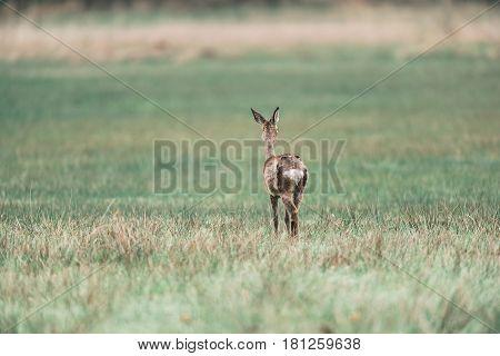 Roe Deer Doe Standing In A Field. Rear View.