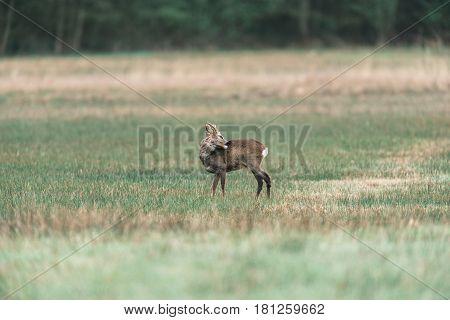 Washing roe deer buck standing in a field.