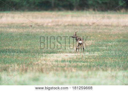 Peeing Roe Deer Buck Standing In A Field. Rear View. Looking Aside.