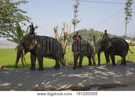 Dak Lak , Vietnam , March 12,2017 : Man riding Elephant  in Jun village  in Dak Lak, Vietnam