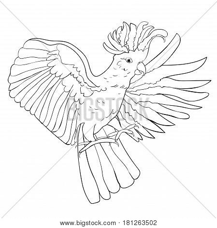 Cockatoo Coloring  White Wings Flying. Vector Illustration