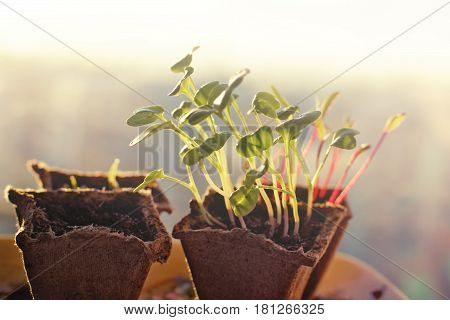 Seedlings of radishes and beets in peat pots at dawn in the spring.