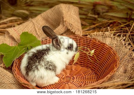 Cute rabbit small bunny domestic pet with long ears and fluffy fur coat sitting in wicker bowl with green vine leaves on sackcloth in natural hay on wooden background