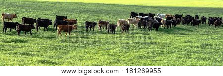 Herd of commercial stocker heifers walking away in a lush green pasture in panorama