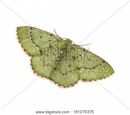 Red-bordered Emerald moth (Nemoria lixaria) isolated on a white background
