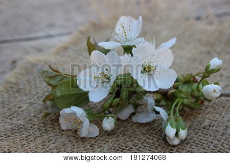 Cherry flowers on branch against on the background of liana tissue