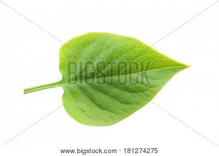 Fresh lilac leaf on white background
