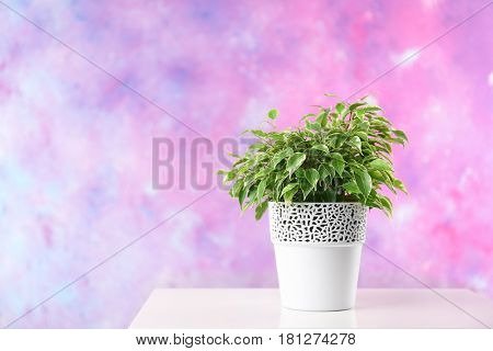 Beautiful ficus in pot on pink background