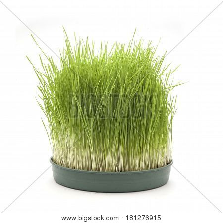 green wheatgrass isolated on the white background