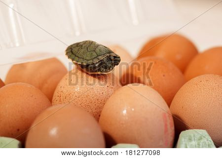 Eggs in a box on a white background with a small turtle on eggs humor easter