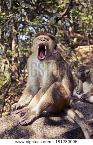 A toque macaque monkey (genus: macaca sinica) displays its teeth and fangs while sitting on a rock near the temple complex at Dambulla in Sri Lanka.