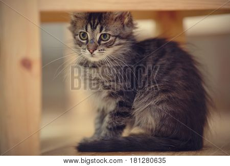 Gray striped fluffy kitten with white moustaches