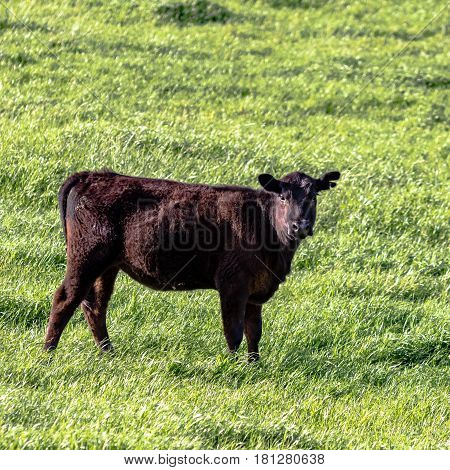 Angus heifer in lush green pasture in square format