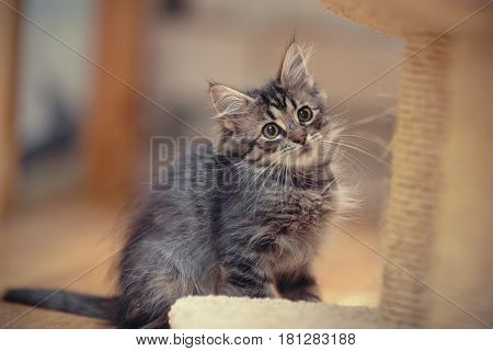 The gray fluffy striped kitten sits on a floor.