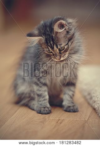 Gray fluffy striped kitten sits on a floor.