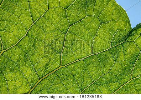 Fresh green burdock leaf texture closeup. Natural foliage, botanic background, macro shot, backlit