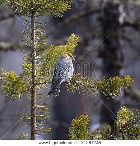 female bullfinch sitting on a pine branch in a spring forest