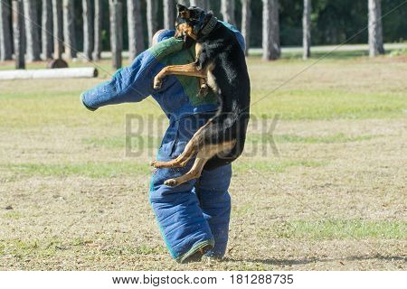 German Shepherd dog attacking a decoy from behind