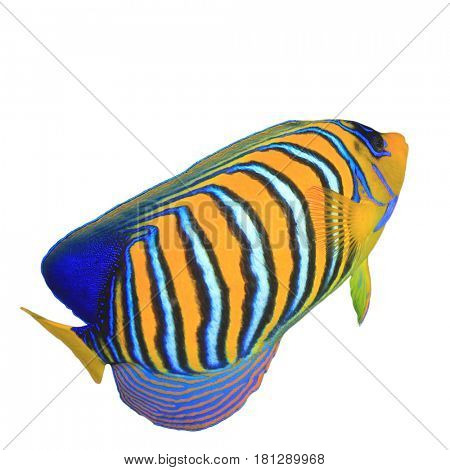 Regal Angelfish fish isolated on white background