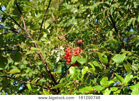 Berry of ripe red wild rowan closeup.