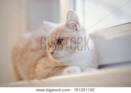Red tabby kitten lays on the window sill.