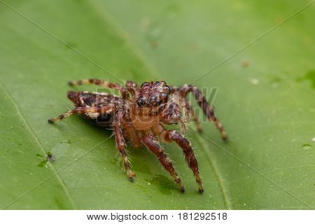 Beautiful Jumping Spider , Close-up Jumping Spider , Jumping Spider