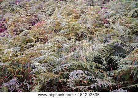 Closeup of Fern during drought day.Floral fern background.