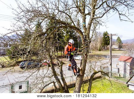 Lumberjack with a saw and harness for pruning a tree. A tree surgeon, arborist climbing a tree in order to reduce and cut his branches.