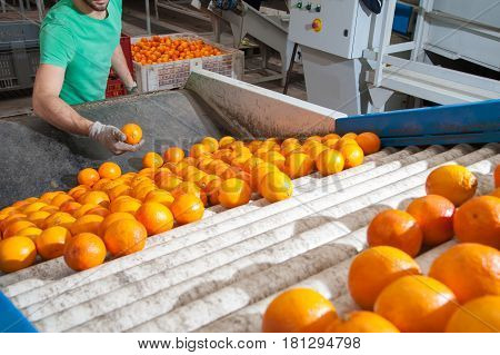 The production line of citrus fruits: a worker checking tarocco oranges in a roll conveyor belt