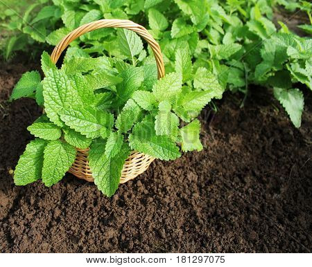 Fresh mint in basket. Mint growing in garden.Gardening concept