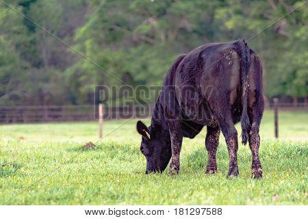 Black Angus heifer grazing as viewed from behind