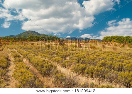 Neglected field with lavender in Crimean mountains