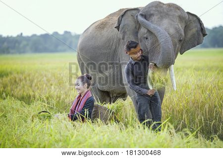 Elephant and mahout of the elephant village Elephant village ThailandSurin Thailand.