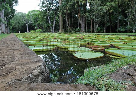 Water lilies from the Botanical garden in Pamplemousses, Mauritius