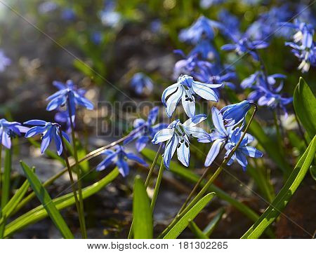 Blue Scilla flowers (Scilla siberica,Squill) in spring forest with sunlight and bokeh effect.Selective soft focus.