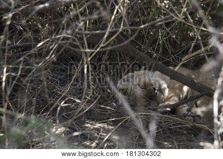 Sleeping Lion Cub, Serengeti, Tanzania