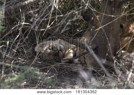 Napping Lion Cub, Serengeti, Tanzania