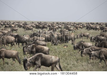 Moving Herd During Wildebeest Great Migration In Serengeti National Park, Tanzania
