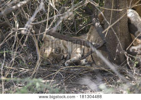 Lion Cub Sleeping In Bush, Serengeti, Tanzania