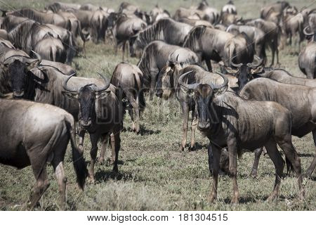 Herd During Wildebeest Great Migration In Serengeti National Park, Tanzania