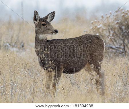 Mule Deer standing in a snowy field.
