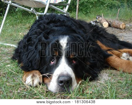 Bernese Mountain Dog. An old beloved friend. Honored dog.