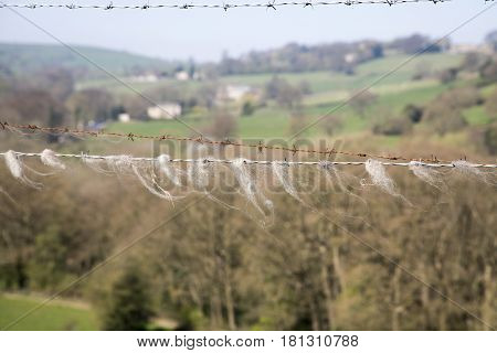 Animal hair stuck onto barbed wire in the English countryside